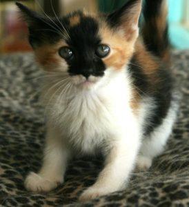small-calico-kitten-sidebar